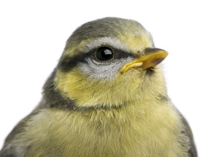 cyanistes: Young Blue Tit, Cyanistes caeruleus, 23 days old, in front of white background