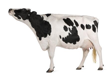 vaca: Vacas Holstein, 5 a�os de edad, de pie delante de fondo blanco