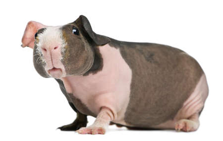 guinea: Hairless Guinea Pig in front of white background Stock Photo