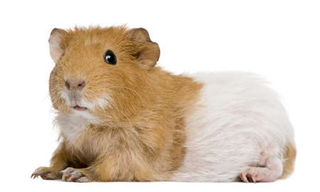 Guinea pig in front of white background photo