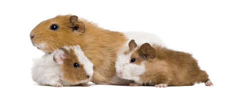 Guinea pig family in front of white background Stock Photo - 7980570