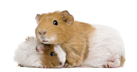 Guinea pig and her baby in front of white background photo