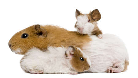Guinea pig family in front of white background photo