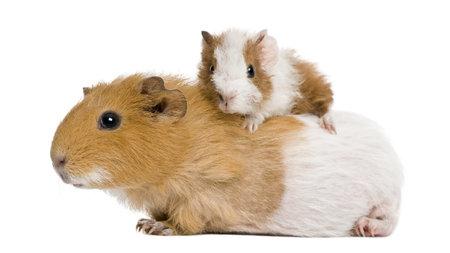 świnka morska: Gwinea wieprzowych i jej dziecko z przodu biaÅ'e tÅ'o