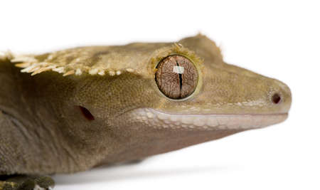 crested gecko: New Caledonian Crested Gecko, Rhacodactylus ciliatus, in front of white background