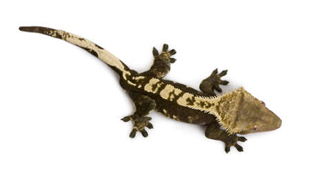 crested gecko: High angle view of New Caledonian Crested Gecko, Rhacodactylus ciliatus, against white background
