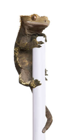 crested gecko: New Caledonian Crested Gecko, Rhacodactylus ciliatus climbing pole in front of white background