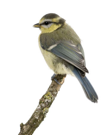 cyanistes: Young Blue Tit, Cyanistes caeruleus, 45 days old, perched in tree in front of white background Stock Photo