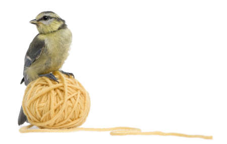 cyanistes: Young Blue Tit, Cyanistes caeruleus standing on ball of wool yarn in front of white background