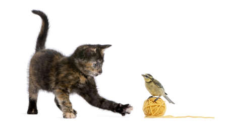 Tortoiseshell kitten playing with a blue tit standing on a ball of yellow wool yarn in front of white background photo
