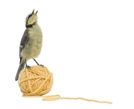 Young Blue Tit, Cyanistes caeruleus standing on ball of wool yarn in front of white background photo