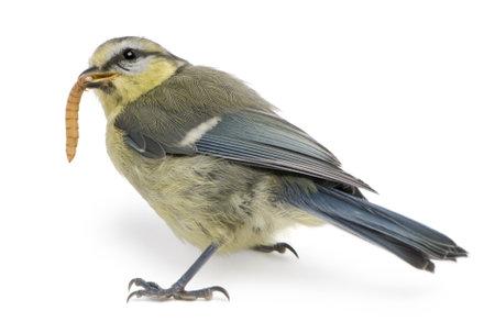 blue tit: Jeune m�sange bleue, Cyanistes caeruleus, ver alimentaire en face de fond blanc