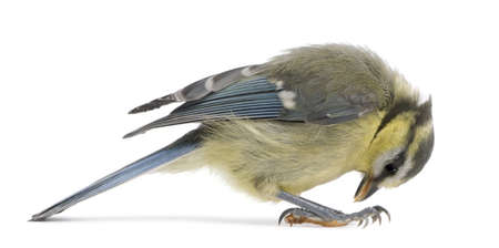 cyanistes: Young Blue Tit, Cyanistes caeruleus, looking down in front of white background