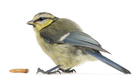 cyanistes: Young Blue Tit, Cyanistes caeruleus, with worm in front of white background