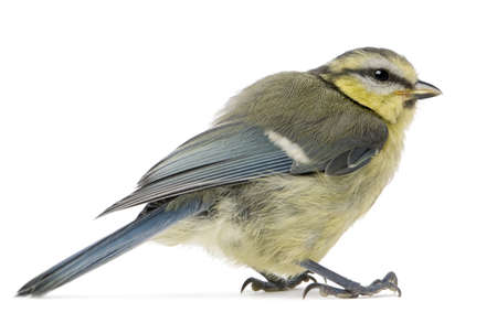 caeruleus: Young Blue Tit, Cyanistes caeruleus, in front of white background
