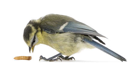 blue tit: Young Blue Tit, Cyanistes caeruleus, with worm in front of white background