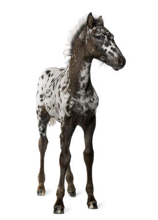crossbreed: Crossbreed Foal between a Appaloosa and a Friesian horse, 3 months old, standing in front of white background Stock Photo