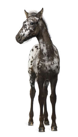 foal: Crossbreed Foal between a Appaloosa and a Friesian horse, 3 months old, standing in front of white background Stock Photo