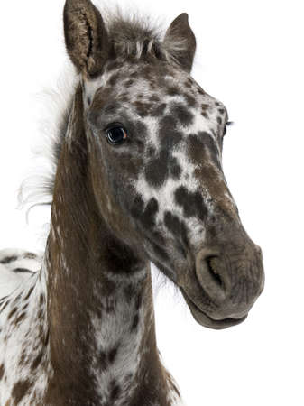 appaloosa: Close-up of a Crossbreed Foal between a Appaloosa and a Friesian horse, 3 months old, standing in front of white background Stock Photo