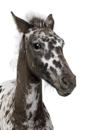 friesian: Close-up of a Crossbreed Foal between a Appaloosa and a Friesian horse, 3 months old, standing in front of white background Stock Photo