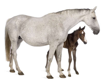 mare: Mare and her foal, 14 years old and 20 days old, standing in front of white background Stock Photo