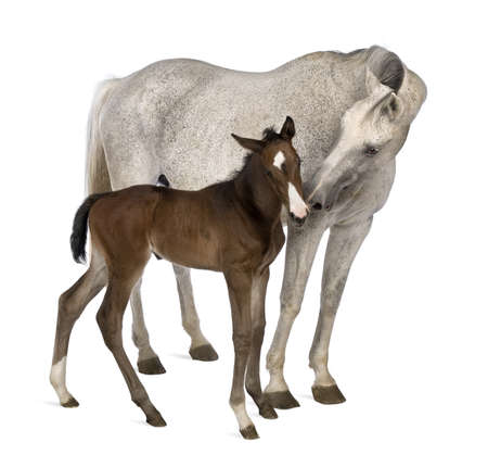 csikó: Mare and her foal, 14 years old and 20 days old, standing in front of white background Stock fotó