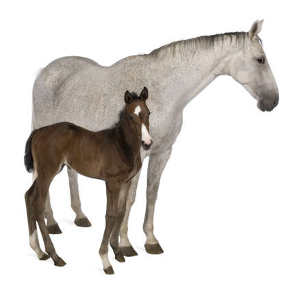 Mare and her foal, 14 years old and 20 days old, standing in front of white background Stock Photo - 7980319