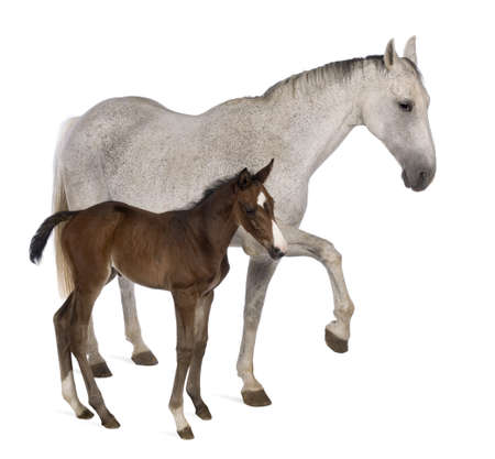 Mare and her foal, 14 years old and 20 days old, standing in front of white background Фото со стока
