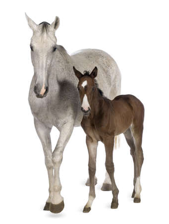 foal: Mare and her foal, 14 years old and 20 days old, standing in front of white background Stock Photo