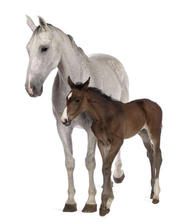 Mare and her foal, 14 years old and 20 days old, standing in front of white background photo
