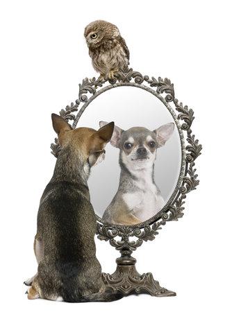 mirar espejo: Chihuahua y un peque�o b�ho, 50 d�as de antig�edad, Athene noctua, delante de un fondo blanco con un espejo