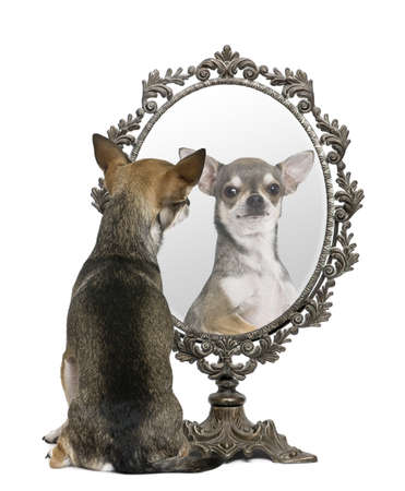 Chihuahua looking in mirror in front of white background photo