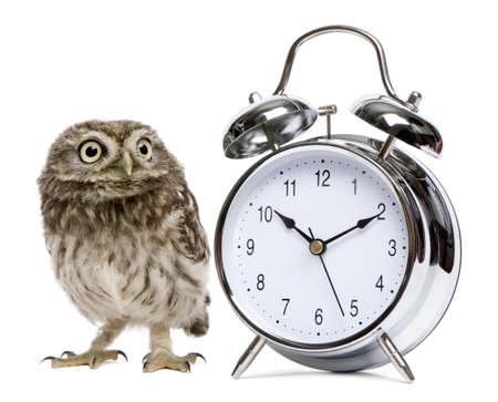athene: Little Owl, 50 days old, Athene noctua, in front of a white background with alarm clock Stock Photo