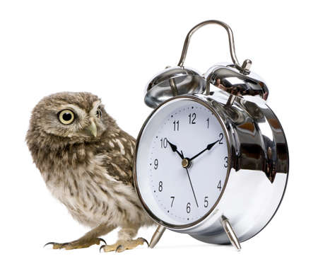 Little Owl, 50 days old, Athene noctua, in front of a white background with alarm clock photo