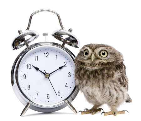 single animal: Little Owl, 50 days old, Athene noctua, in front of a white background with alarm clock Stock Photo