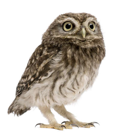 athene: Little Owl, 50 days old, Athene noctua, standing in front of a white background Stock Photo