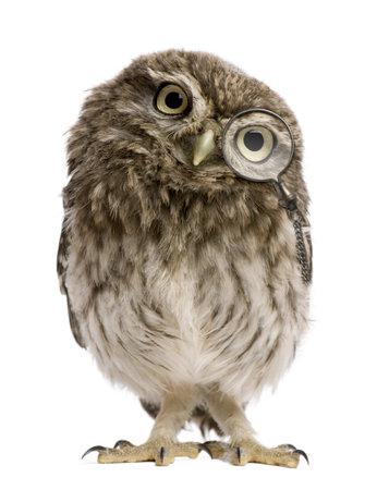 lechuzas: Little Owl vistiendo la lupa, 50 d�as de antig�edad, Athene noctua, de pie delante de un fondo blanco