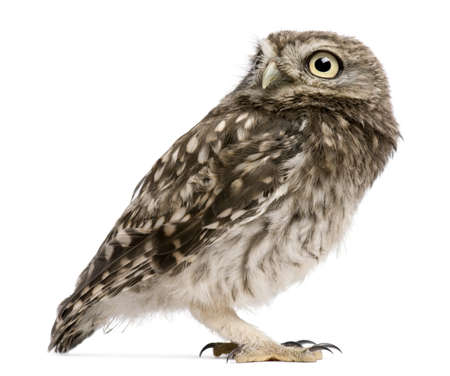 Little Owl, 50 days old, Athene noctua, standing in front of a white background Stock Photo