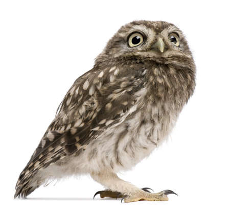 Little Owl, 50 days old, Athene noctua, standing in front of a white background photo