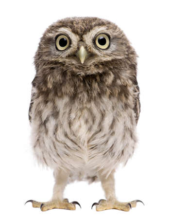 animal species: Little Owl, 50 days old, Athene noctua, standing in front of a white background Stock Photo