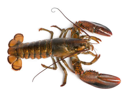 lobster isolated: High angle view of American lobster, Homarus americanus, in front of white background