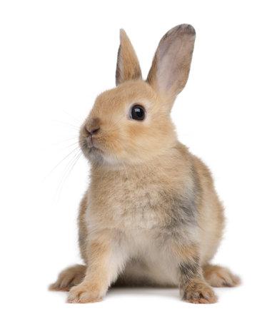 conejo: Retrato de un conejo europeo, Oryctolagus cuniculus, sentado frente a fondo blanco