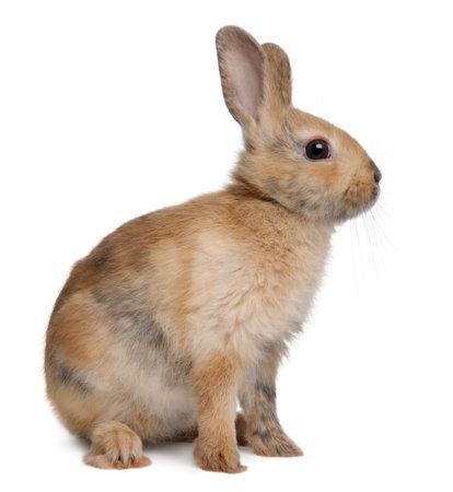 silhouette lapin: Portrait d'un lapin europ�en, Oryctolagus cuniculus, assis en face de fond blanc Banque d'images