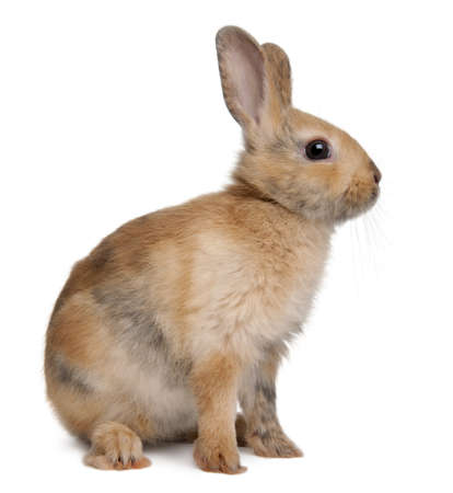 Portrait of a European Rabbit, Oryctolagus cuniculus, sitting in front of white background Stock Photo - 7980532