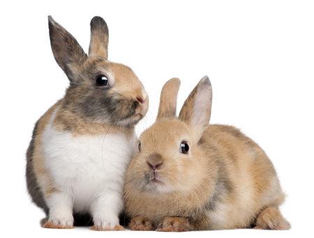 conejo: Retrato de conejos europeos, Oryctolagus cuniculus, sentado frente a fondo blanco  Foto de archivo
