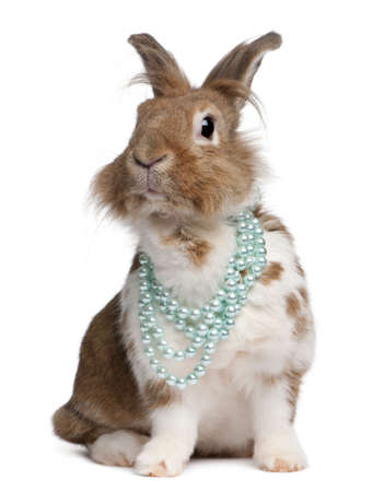 Portrait of a European Rabbit wearing pearl necklaces, Oryctolagus cuniculus, sitting in front of white background photo