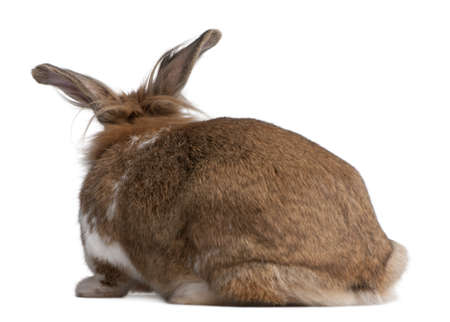 Rear view of a European Rabbit, Oryctolagus cuniculus, sitting in front of white background photo