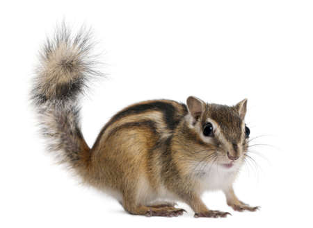 Chipmunk: Siberian chipmunk, Euamias sibiricus, standing in front of white background
