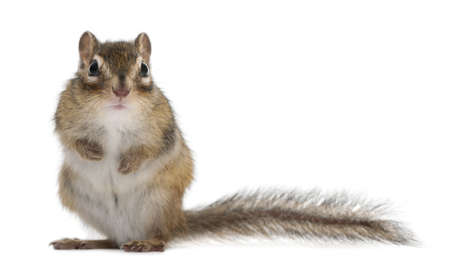 siberian: Siberian chipmunk, Euamias sibiricus, standing in front of white background