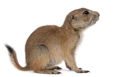 Black-tailed prairie dog, Cynomys ludovicianus, sitting in front of white background photo